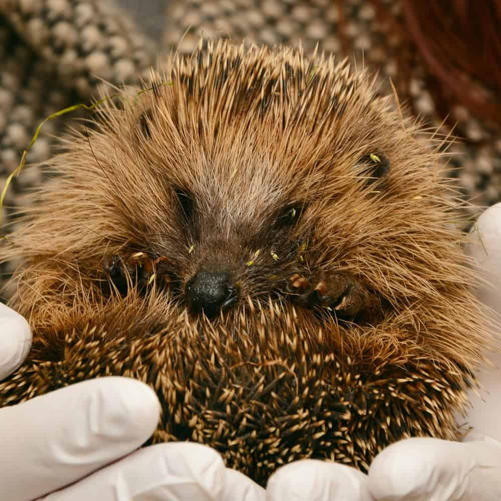 Brackley Hedgehog care