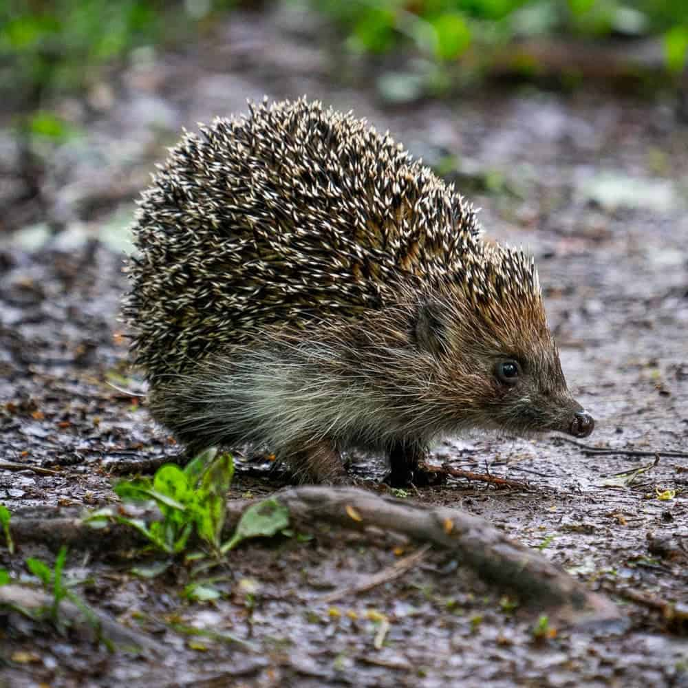 Brackley hedgehog charity