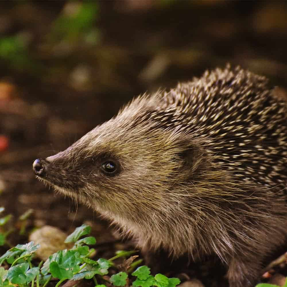 Hedgehog care Brackley