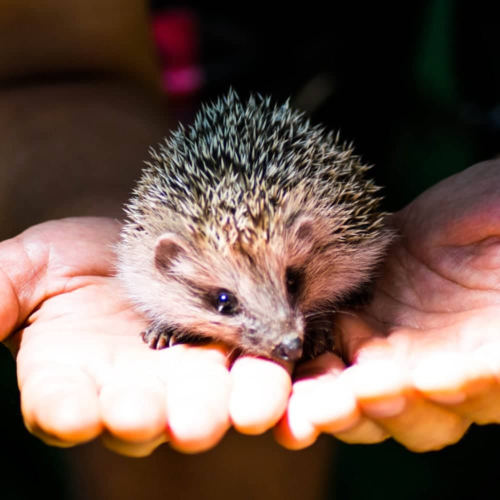 Hedgehog Charity Brackley